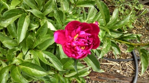Peony bloom close-up
